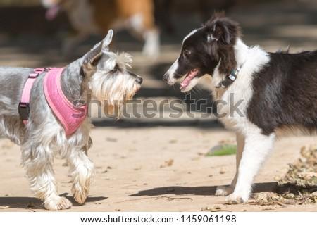 Standard Schnauzer Meeting a Shetland Shepherd puppy #1459061198