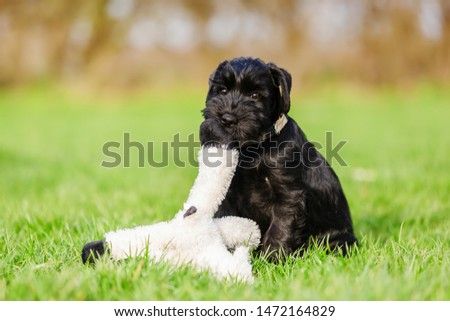 standard schnauzer puppy plays with a cuddle toy on the meadow #1472164829
