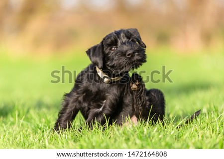standard schnauzer puppy sits on the meadow and scratches himself behind the ear #1472164808