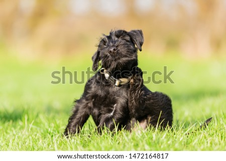 standard schnauzer puppy sits on the meadow and scratches himself behind the ear #1472164817