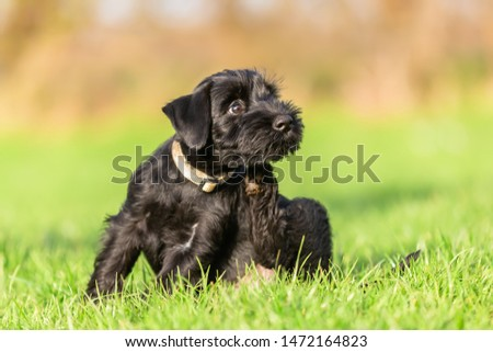 standard schnauzer puppy sits on the meadow and scratches himself behind the ear #1472164823