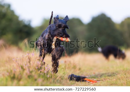 standard schnauzer runs with a treat bag in the snout on a country path #727229560