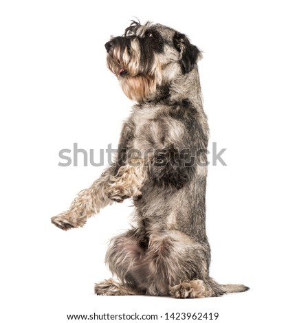 Standard Schnauzer sitting against white background #1423962419