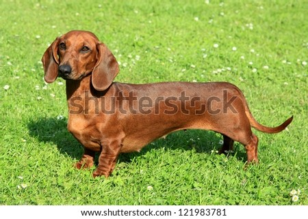 Standard smooth-haired dachshund in the garden