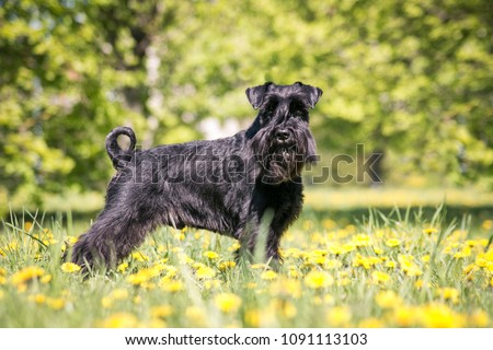 Standart schnauzer posing in spring flowers field. #1091113103