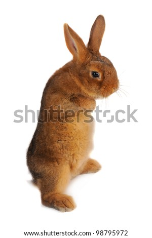 Standing, a rabbit on a white background