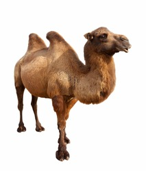 Standing bactrian camel (Camelus bactrianus). Isolated on white