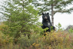 Standing black bear in the forest