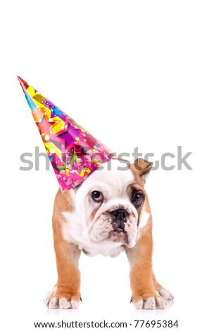 standing english bulldog puppy with a party hat over white