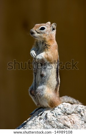 Standing Golden Mantled Ground Squirrel