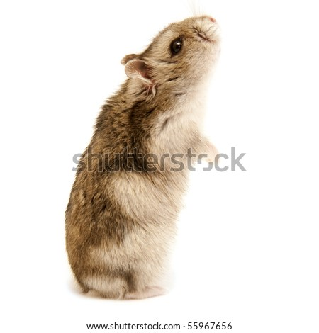 standing hamster isolated on white