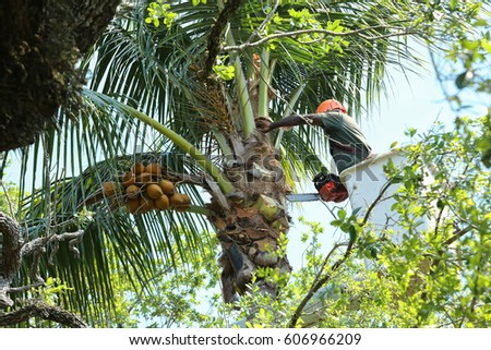 Standing in a cherry picker a tree trimmer reaches over to cut down a palm frond on a coconut palm tree.