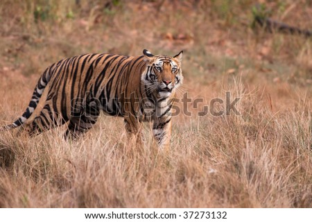 Standing male Bengal Tiger (Panthera tigra) staring into the distance