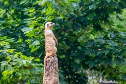 standing meerkat on guard, on top of the termite mound, green bush in the background