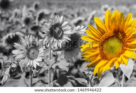 Standing out from the crowd - bright sunflower on a grayscale sunflowers field backgrounds. #1469946422