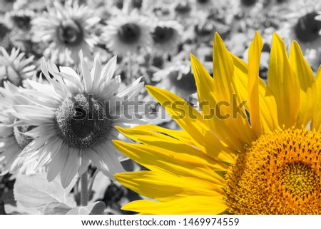 Standing out from the crowd - bright sunflower on a grayscale sunflowers field backgrounds. #1469974559