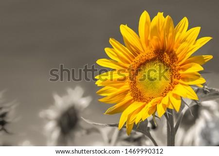 Standing out from the crowd - bright sunflower on a grayscale sunflowers field backgrounds. #1469990312