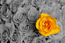 Standing out in a crowd yellow rose