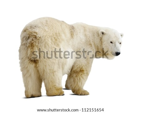 Standing polar bear. Isolated over white background with shade