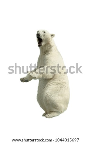 Standing polar bear with an open mouth Isolated over white background #1044015697