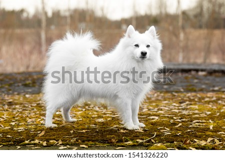 Standing portrait of purebred cute charming white japanese spitz female with golden yellow autumn leafs background. Smiling fur fluffy family pet spitz smiling outdoors on foggy autumn day  Stock foto ©