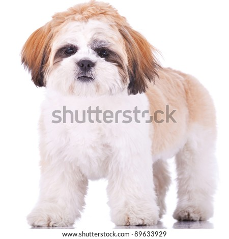 standing shih tzu puppy, looking at the camera on white background