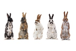 standing spotted rabbits isolated on a white background.