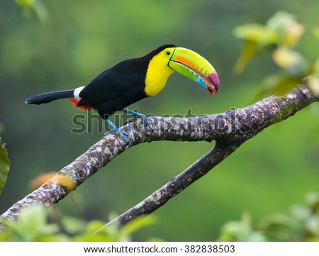 Standing Tall...This beautiful Keel billed Toucan is having a bite to eat.  Taken in the wild in Costa Rica in the jungle rain forest near Arenal Volcano