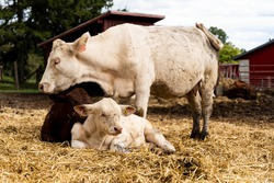 Standing white cow and two lying calfs, one white and one brown, at a farm environment at the Canadian Food and Agriculture Museum in Ottawa