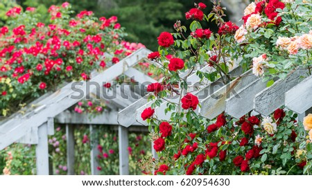 Stanley Park Rose Garden,Vancouver BC Canada #620954630