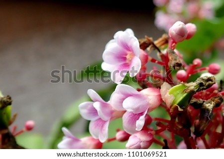 Free photos pink star shaped flowers are beautiful avopix star fruit tree the fruit grows on a small bushy evergreen tree first mightylinksfo