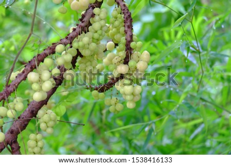 Star Gooseberry fruit on a tree with vitamins and sour taste.
