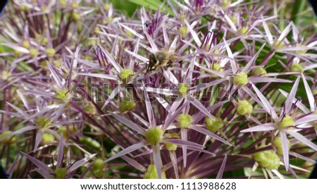 star of persia  flowering with bee in center of macrophotography