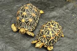 star tortoise back focus
