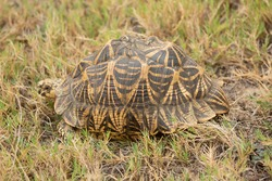 Star Tortoise.The  star tortoise (Geochelone elegans) is a threatened species of tortoise found in dry areas and Anawilundawa Sanctuary  in sri lanka.