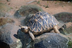 Star Turtle from Indian zoo