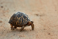 Star turtle is going a long trip lonly.