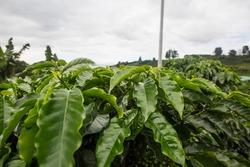 Starbucks coffee farm, Costa Rica Hacienda Alsacia