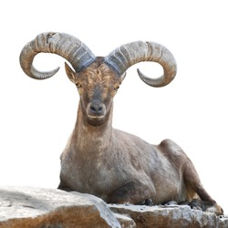 Stare of a mountain goat male. Closeup portrait, isolated on white background. Big rounded horns of wild hoofed animal