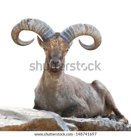 Stock Photo Stare of a mountain goat male. Closeup portrait, isolated on white background. Big rounded horns of wild hoofed animal