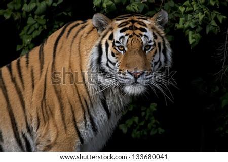 Stare of a severe Siberian Tiger - stock photo