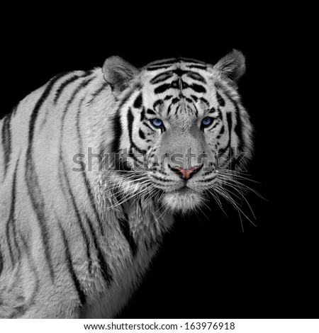 Stare of a severe Siberian Tiger, isolated on black background. The most dangerous beast shows his calm greatness. Wild beauty of a severe big cat #163976918