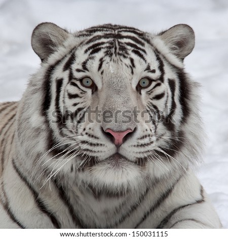 Stare of a white bengal tiger, lying on snow. Wild beauty of the most dangerous beast of the world. Face portrait of the biggest cat.