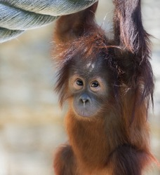 Stare of an orangutan baby, looking into the camera. A little great ape is going to be an alpha male. Human like monkey kid in shaggy red fur.