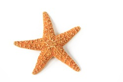 Starfish (Asterias rubens) from the North Sea isolated in front of white background
