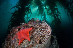 Starfish cling to the seafloor in a forest of giant kelp, Macrocystis pyrifera. Diverse kelp forests grow in the eastern Pacific waters that flow along the California coast.