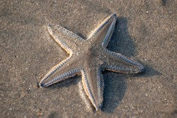 Starfish or sea stars are star-shaped echinoderms belonging to the class Asteroidea. Most starfish have five arms that radiate from a central disc, but the number varies with the group.