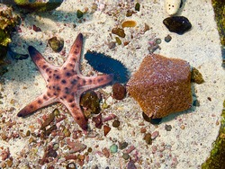 Starfish or sea stars are star-shaped echinoderms belonging to the class Asteroidea. Starfish are marine invertebrates and also known as Asteroids. Selective focus, top view