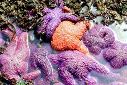 Starfish piled together on a beach during low tide showing their texture and colors in a tide pool.