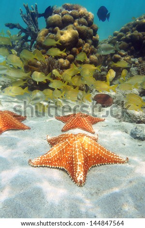 Starfish underwater on sandy seabed with a school of tropical fish and coral in background, Caribbean sea